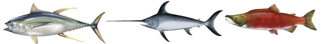 Tuňák | Mečoun | Losos